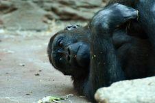 Free Common Chimpanzee, Chimpanzee, Great Ape, Fauna Royalty Free Stock Image - 111419866