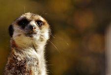 Free Meerkat, Mammal, Whiskers, Fauna Stock Photography - 111420022
