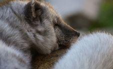 Free Dog Like Mammal, Dog Breed Group, Fauna, Nose Royalty Free Stock Photography - 111420467