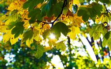 Free Leaf, Yellow, Autumn, Tree Royalty Free Stock Photos - 111421218
