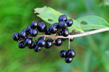 Free Berry, Plant, Huckleberry, Fruit Royalty Free Stock Image - 111421306