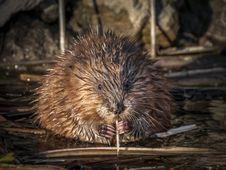 Free Muskrat, Beaver, Mammal, Fauna Royalty Free Stock Photos - 111422118