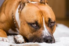 Free Adult Brown And White Pitbull Royalty Free Stock Photos - 111457348