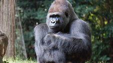 Free Gorilla Beside Brown Rock Stock Images - 111457364