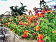 Free Assorted-color Lantana Flowers Lined Stock Photos - 111457453