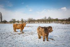 Free Two Beige Yaks On Snow Terrain Royalty Free Stock Photo - 111457455