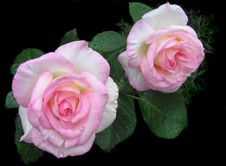 Free Flower, Rose, Rose Family, Pink Stock Photography - 111483042