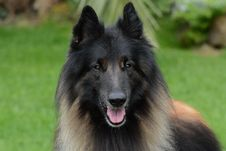 Free Dog, Dog Like Mammal, Old German Shepherd Dog, Dog Breed Royalty Free Stock Photography - 111483457