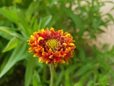 Free Flower, Blanket Flowers, Plant, Wildflower Stock Photography - 111483532