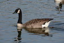 Free Bird, Water Bird, Water, Goose Stock Image - 111483551