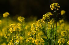 Free Rapeseed, Yellow, Mustard Plant, Canola Royalty Free Stock Photos - 111483598