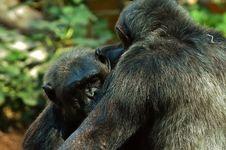 Free Chimpanzee, Common Chimpanzee, Mammal, Fauna Stock Photo - 111484110