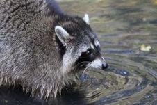 Free Raccoon, Procyonidae, Procyon, Mammal Royalty Free Stock Photo - 111485055