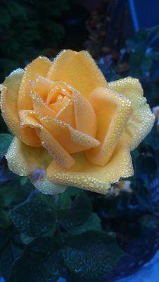 Free Flower, Rose, Rose Family, Petal Royalty Free Stock Photos - 111485118