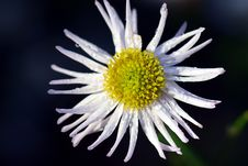 Free Flower, Yellow, Aster, Flora Royalty Free Stock Image - 111485406