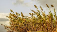 Free Grass Family, Phragmites, Grain, Grass Royalty Free Stock Image - 111486106