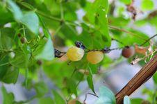 Free Flora, Branch, Fruit Tree, Fruit Stock Photography - 111486632