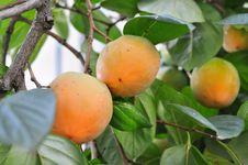 Free Fruit Tree, Fruit, Diospyros, Persimmon Royalty Free Stock Image - 111486636