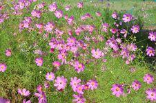 Free Flower, Plant, Garden Cosmos, Flowering Plant Stock Photos - 111486643