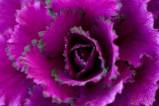 Free Flower, Violet, Pink, Purple Stock Images - 111486784