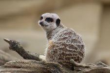 Free Meerkat, Mammal, Terrestrial Animal, Fauna Stock Photos - 111487243