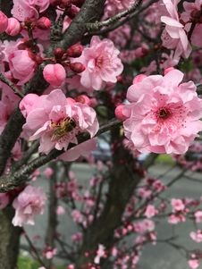 Free Blossom, Pink, Flower, Spring Stock Images - 111487314