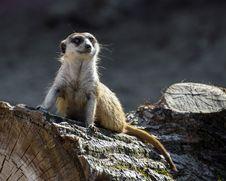 Free Meerkat, Mammal, Fauna, Terrestrial Animal Royalty Free Stock Photo - 111487345