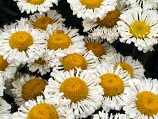 Free Flower, Oxeye Daisy, Daisy, Chamaemelum Nobile Stock Photo - 111487360