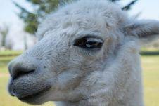 Free Llama, Fauna, Camel Like Mammal, Alpaca Stock Photo - 111487700