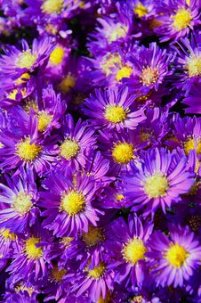 Free Flower, Aster, Plant, Purple Royalty Free Stock Photos - 111488418