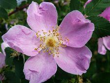 Free Flower, Rosa Canina, Rose Family, Rosa Palustris Royalty Free Stock Photography - 111488467