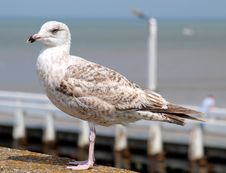 Free Bird, Gull, Seabird, European Herring Gull Royalty Free Stock Photo - 111488725