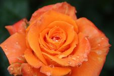 Free Orange, Rose, Garden Roses, Flower Stock Photo - 111488750