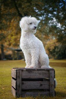 Free Dog Like Mammal, Dog Breed, Grass, Bichon Frisé Stock Photography - 111497572