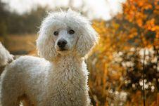 Free Dog Like Mammal, Dog Breed, Dog, Standard Poodle Stock Images - 111497574