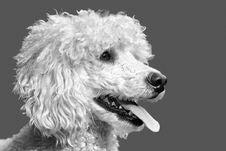 Free Dog, Dog Like Mammal, Black And White, Dog Breed Stock Images - 111497584