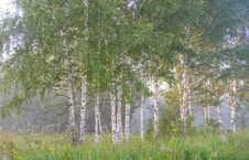 Free Tree, Ecosystem, Birch, Grove Stock Images - 111498364