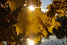 Free Leaf, Yellow, Maple Leaf, Autumn Royalty Free Stock Images - 111498709