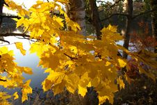 Free Tree, Yellow, Autumn, Leaf Stock Photo - 111498720