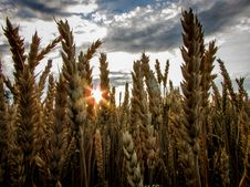 Free Brown Wheat Field Under Blue Cloudy Sky Stock Image - 111545431