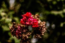 Free Red And Brown Flowers Stock Images - 111545444