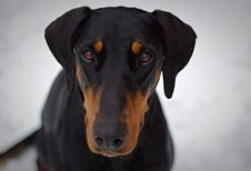 Free Adult Black And Tan Doberman Pinscher Closeup Photography Stock Photography - 111545532