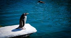 Free Black And White Penguin Standing On Gray Rock Near Body Of Water Stock Photos - 111545563