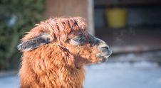 Free Macro Photography Of Llamas Head Stock Images - 111545574