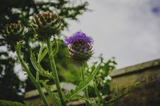 Free Selective Focus Photography Of Purple Thistle Flower Royalty Free Stock Photos - 111545578