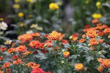 Free Photography Of Orange, Red, And White Petaled Flower Field Royalty Free Stock Image - 111545616