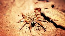 Free Female Wolf Spider In Closeup Photography Stock Photography - 111545662