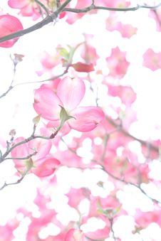 Free Closeup Photo Of Cherry Blossoms Royalty Free Stock Photo - 111615245