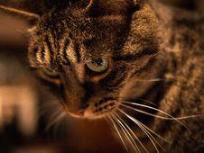 Free Gray Tabby Cat Royalty Free Stock Photo - 111615285