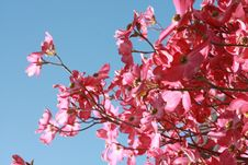 Free Pink Flowers Under Blue Clear Sky Royalty Free Stock Image - 111615296